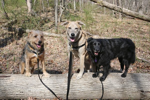 Tucker, Jasper and Lilah on a walk in the woods.