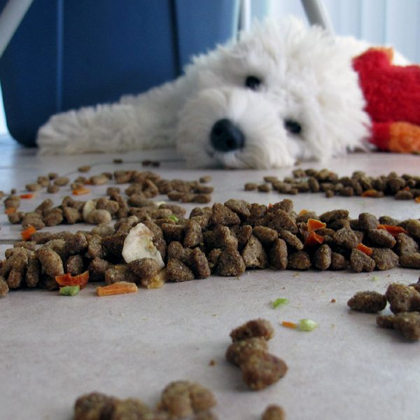 A white dog looking at a mess of kibble.