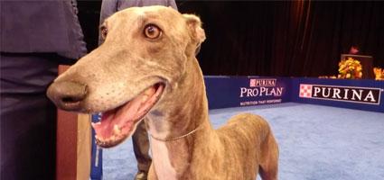 National Dog Show Philadelphia Winner Greyhound Picture