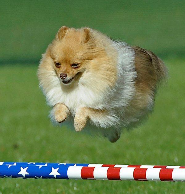 Pomeranians have longer-than-average dog lifespans. Photography courtesy Diane Finch.