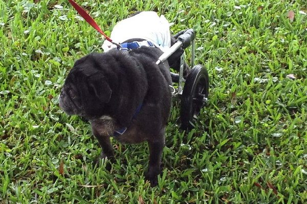 When Karma first arrived at Elyse's home he was in a wheelchair and diapers. (All photos courtesy Karma the Pug)