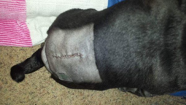 Karma's back surgery was successful and he is now walking. (All photos courtesy Karma the Pug)