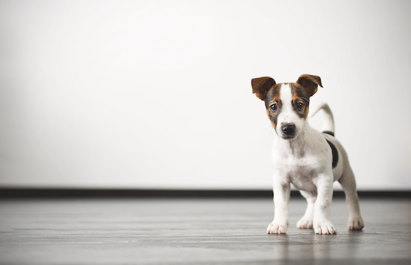 Puppy by Shutterstock.