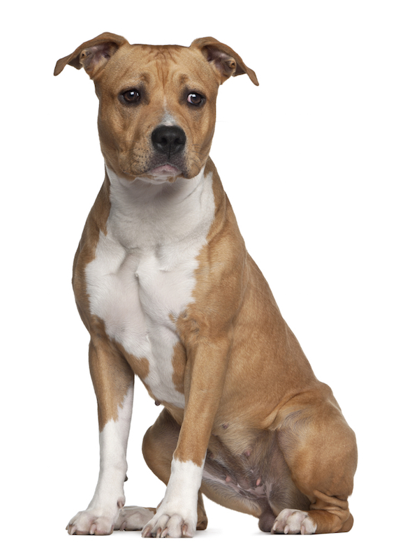 American Staffordshire Terrier by Shutterstock.