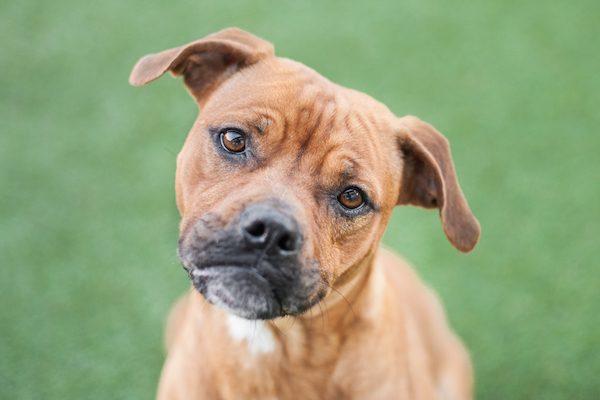 A Boxer-mix puppy tilting his head.