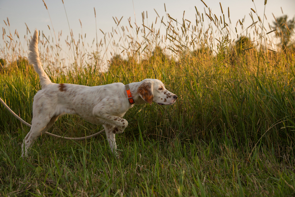 English Setter puppy in training, pointing a game bird.