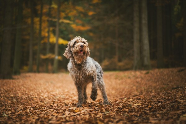 A dog lifts a paw in an autumn forest.