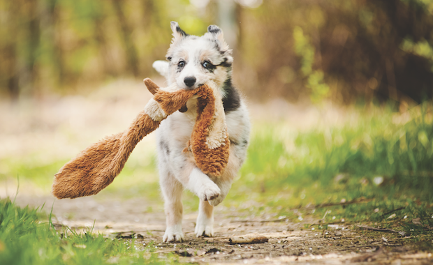 Dog with toy by iStock.