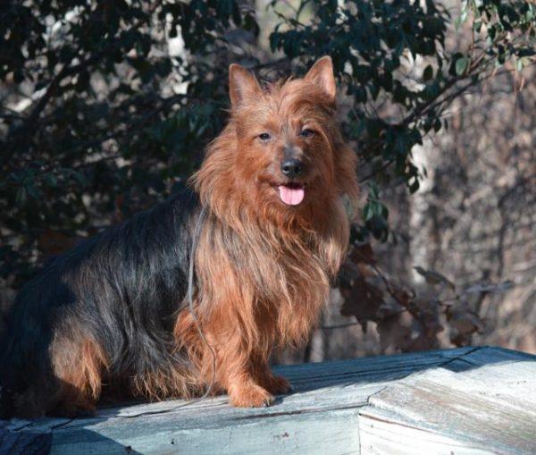 Australian Terrier courtesy Alexa Samarotto and Claudia Coleman
