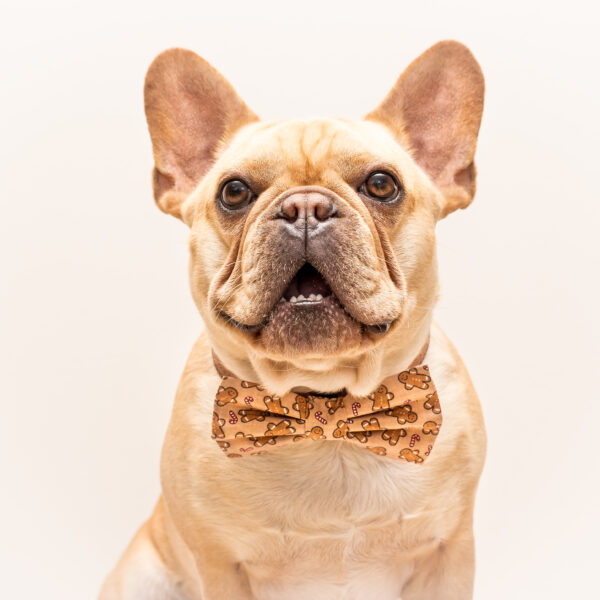 A cream Frenchie purbred dog in a standard color.