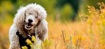 Blind And Deaf Margaux The Poodle Gets Around With Help