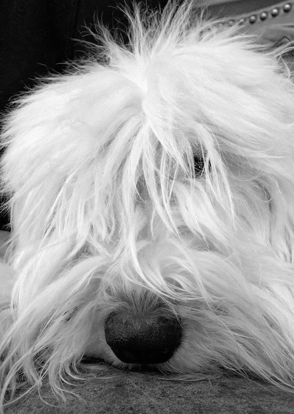 Old English Sheepdog courtesy Jason Frederich.