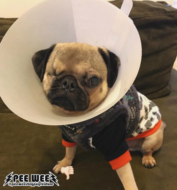 Pee Wee is now recovering from a surgical repair on his remaining eye. (photo courtesy @peeweesbigpugventure)