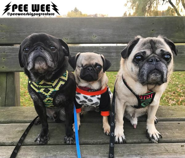 Pee Wee loves his big Pug brothers Tatanka (left) and Frankie (right). (Photo courtesy @peeweesbigpugventure)