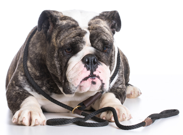 Bulldog with leash by Shutterstock.