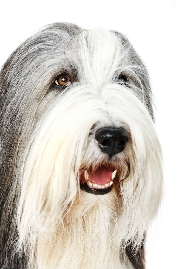 Old English Sheepdog by Shutterstock.