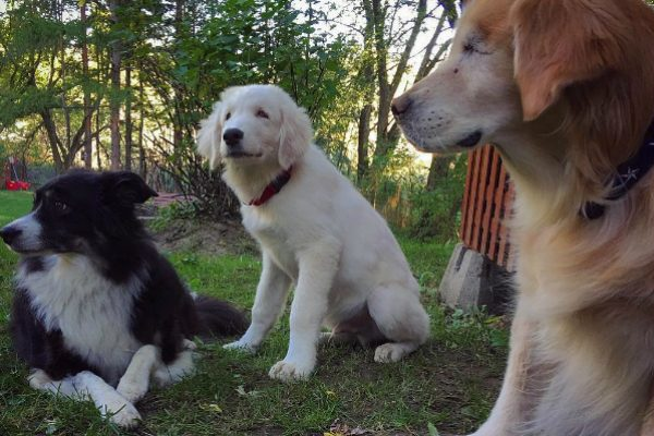 Pal quickly became part of the pack with Smiley and Pippi. (Photo courtesy @smileytheblindtherapydog)