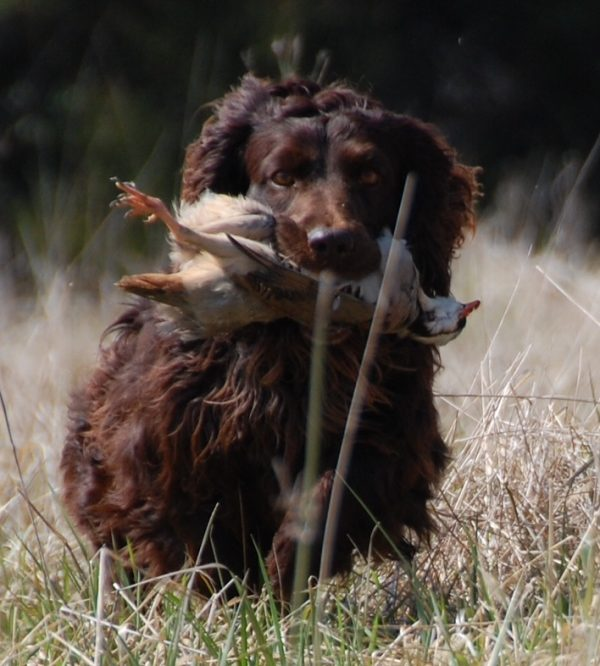 Boykin Spaniel, courtesy Patricia Watts, Hollow Creek Kennel