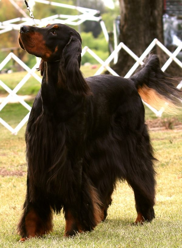 Gordon Setter, courtesy Pat Boldt and Sharon Carvalho