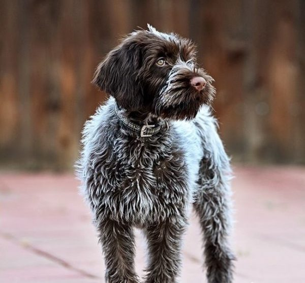 Wirehaired Pointing Griffon courtesy Renee Mason Carter