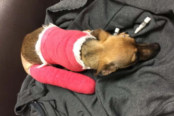 Kiki after her first surgery. (Photo courtesy Brittani Lowe)