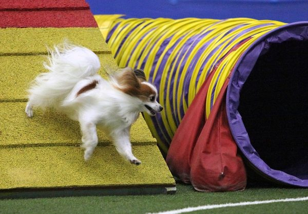 "Papillon runs an agility course. (Photo courtesy Laura Simonelli/<a href=""http://www.mnicolefischer.com/"">M Nicole Fischer photography</a>)"