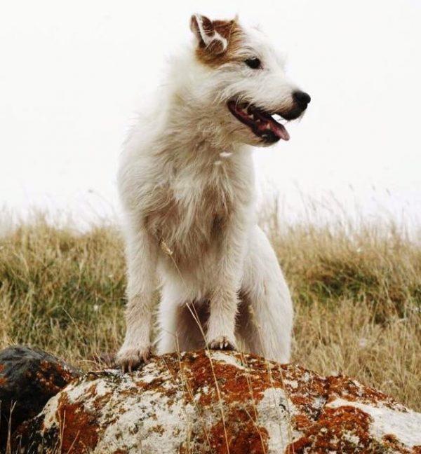 Parson Russell Terrier, courtesy Amanda Labadie