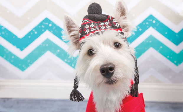 Meet the west highland white terrier a remarkably white astonishingly bright dog - Pictures of westie dogs ...