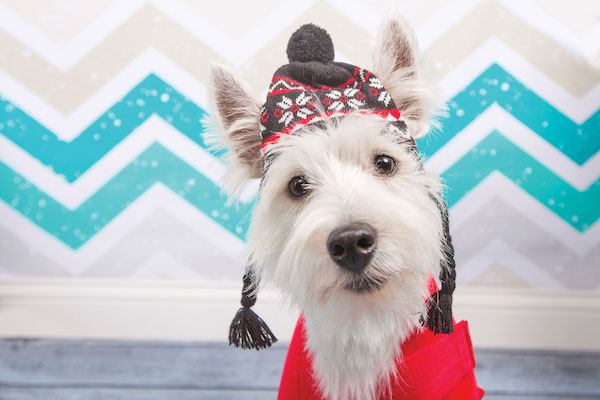 West Highland Terrier by Holly Hildreth.