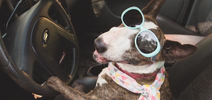 Bull Terrier driving car. (Photo by Gina Cioli/Lumina Media)