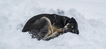 Dog sleeping in cold/snow by Shutterstock.