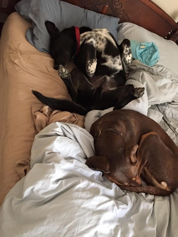 Riggins and his buddy Shadow take a nap on the human bed. (Photo by Wendy Newell)