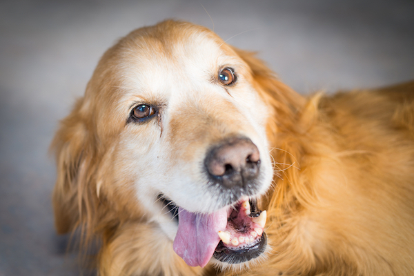Golden Retriever by Shutterstock.
