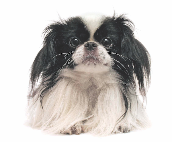 Japanese Chin by Shutterstock.