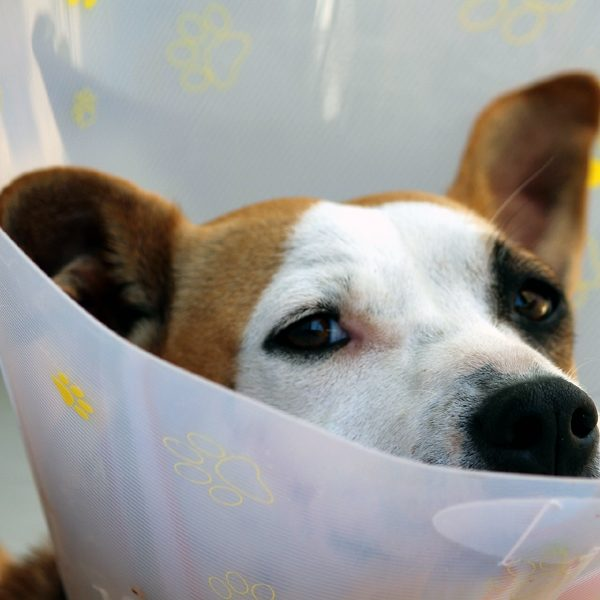 A dog wearing a cone of shame.