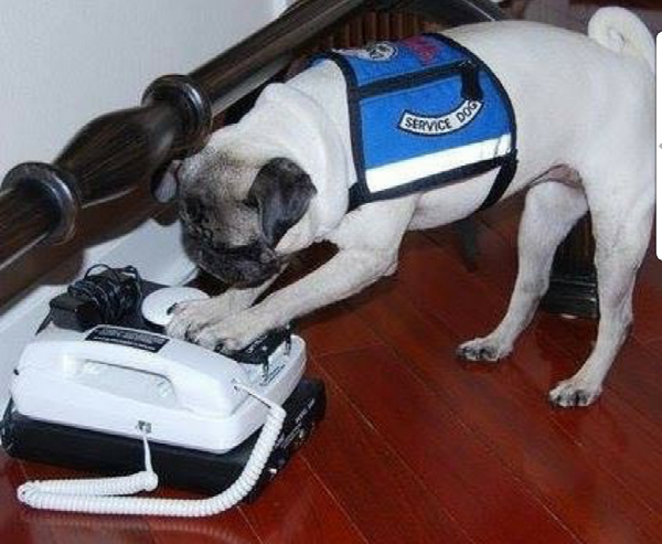 Pia Pia demonstrates how she uses her 911 phone. (Photo courtesy @pia_pia_the_pug)