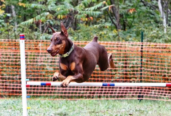 Doberman Pinscher, courtesy Lloyd Fulcer