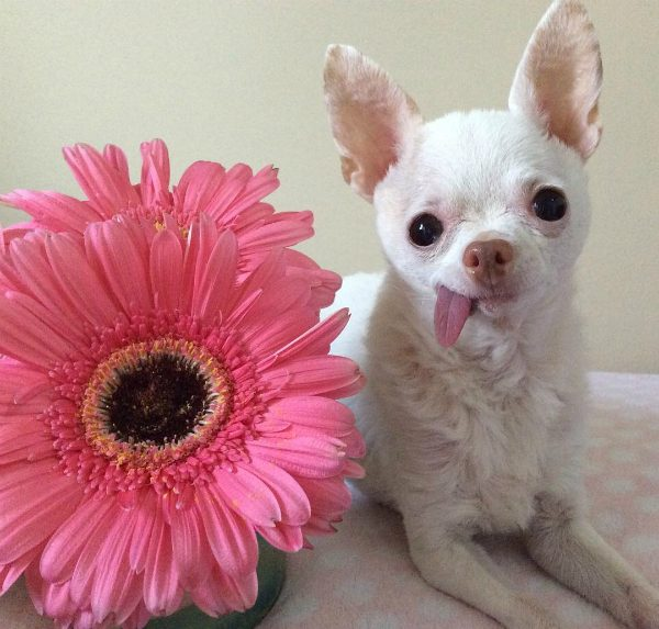 Pinky poses with a pink flower. (Photo courtesy @pinkythechi)