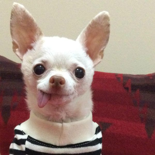Pinky was named after the cartoon, Pinky and the Brain. (All photos courtesy @pinkythechi)