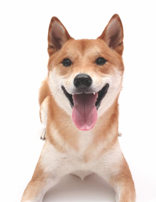 Shiba Inu by Shutterstock.