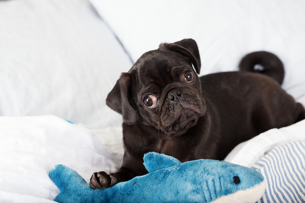 Pug with paw on toy by Shutterstock.