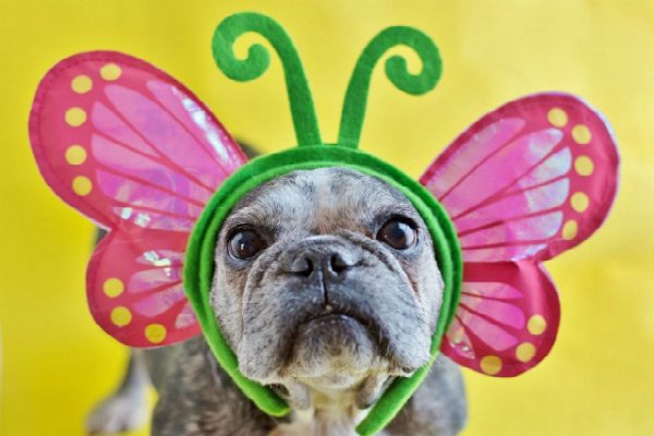 Just like a caterpillar, Sister turned into a butterfly after her adoption. (Photo by Gina Easley, Courtesy Sister The Frenchie)