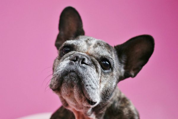 Sister is pretty on pink or any other colour. (Photo by Gina Easley, Courtesy Sister The Frenchie)