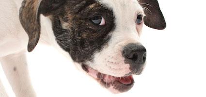 American Bulldog by Gina Cioli/Lumina Media.