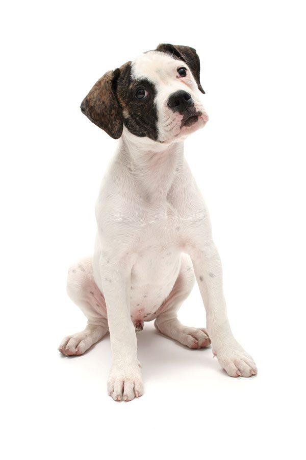 American Bulldog puppy by Gina Cioli/Lumina Media.