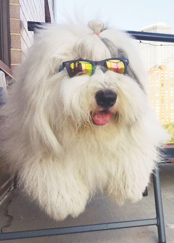 Rocco the Old English Sheepdog