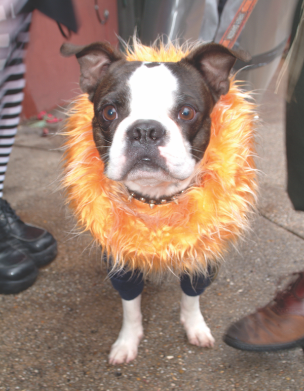 Boston Terrier dressed up for Mardi Gras by Shutterstock.