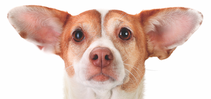 how to get rid of dog ear infection