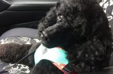 My Miniature Poodle Jäger does not ride in the car without his seat belt. (Photo by Jackie Brown)