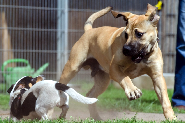 A puppy and a big dog chase each other.